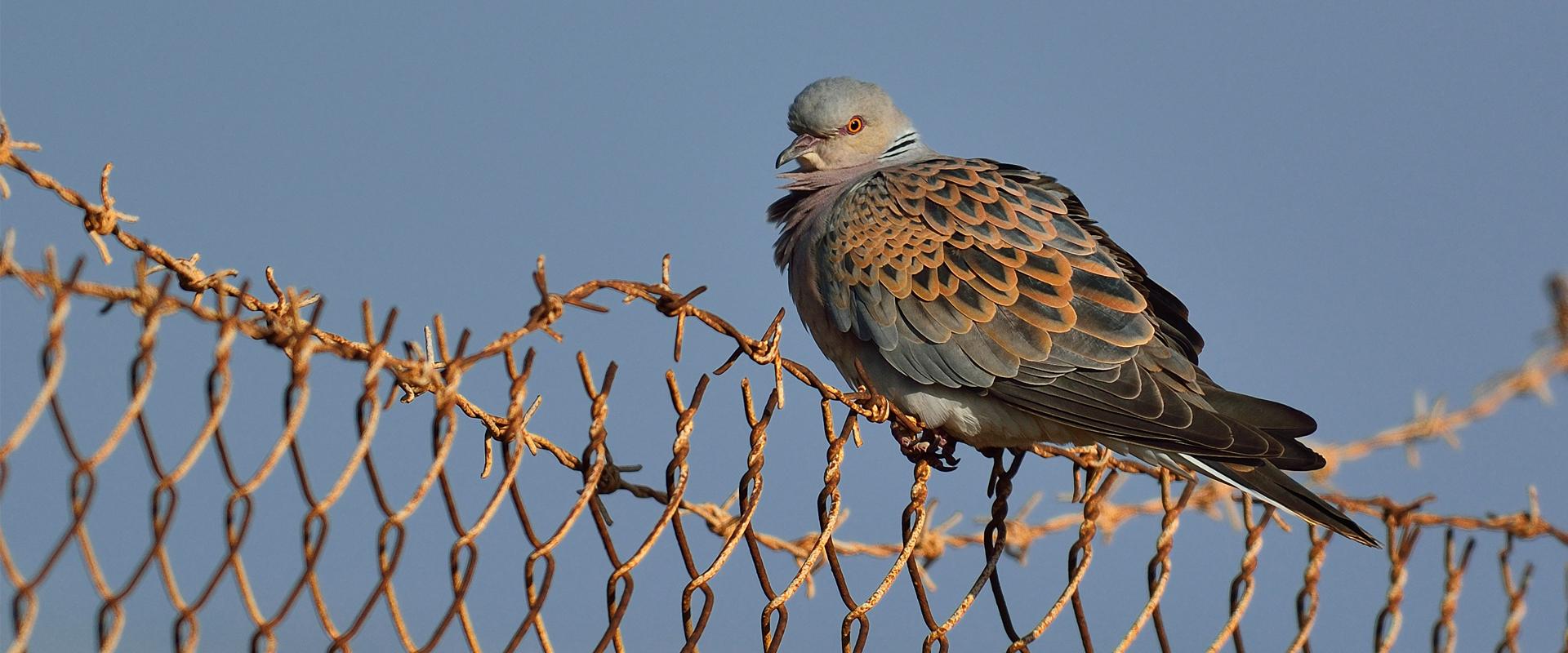 slider_turtle_dove